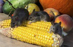 Detec Desarrollos tecnológicos - Animales - Ratones